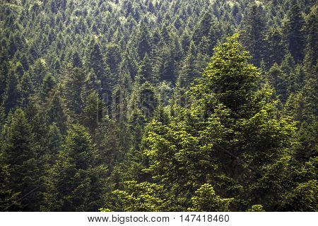 the wide view of spruce Carpathian forest