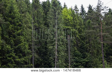 the landscape of the spruce Carpathian forest