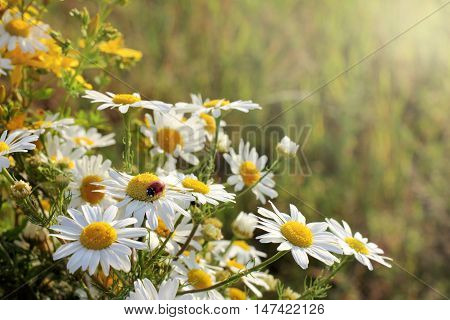 bouquet of wild daisies with a ladybug on a sunset / flora and fauna in the summer
