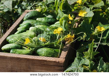 Wooden Box With Cucumbers Inside