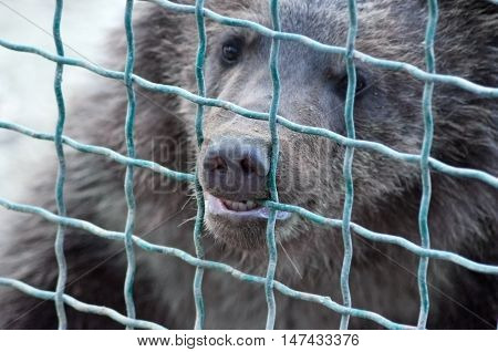 Bear in captivity wants to escape to freedom