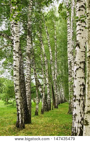 Birch alley in Yasnaya Polyana near Tula city, Russia