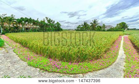 Panorama Portulaca grandiflora flower road in the countryside