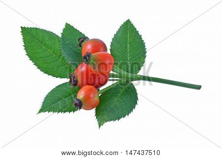 Ripe rose hips and leaves of the wild dog rose.