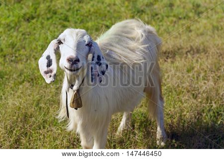Portrait of a white goat with black ears looking into the camera.