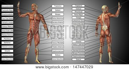 Concept 3D illustration of a male human anatomy, man with muscles and text on gray gradient background for body, tendon, spine, fit, builder, strong, biological, skinless, shape posture health medical