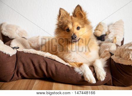 shetland sheepdog lies in his dog basket