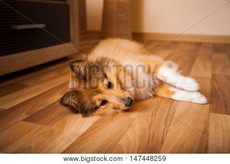 a relaxed shetland sheepdog lies on carpet