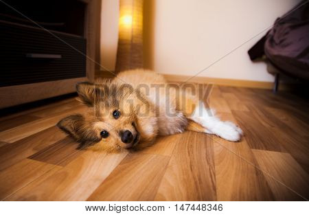 a shetland sheepdog lies on brown carpet