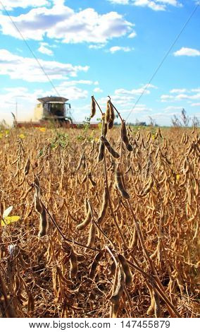 maid Mature soybean harvester in a field in autumn