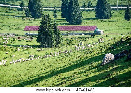 Herd Of Cows Grazing In Mountain Meadow