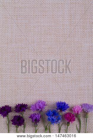 Cornflowers lie bottom on sackcloth. Vertical card cornflowers pink blue purple lie down on sackcloth.