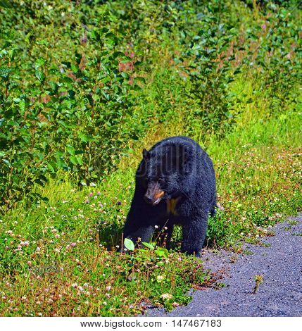 Black bear canada most familiar wild animals