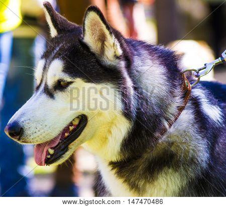 Huskies. Huskies dog breeds.Portrait of a pet dog. A favorite of friend dog.