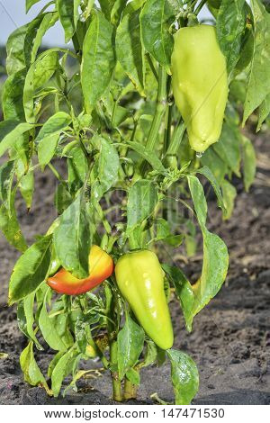 ripe sweet pepper grows on a bush in the garden