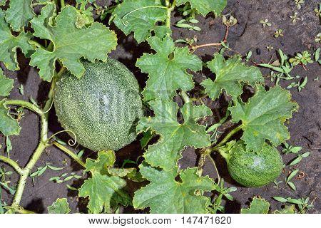 melon shrub will sing in the garden in summer