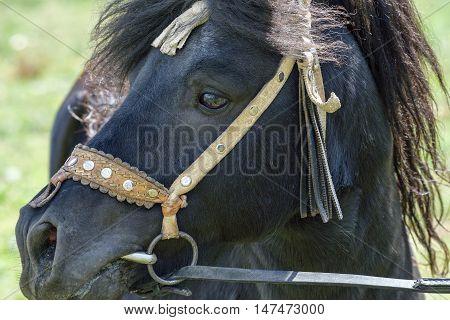 portrait drawn by the rare black pony