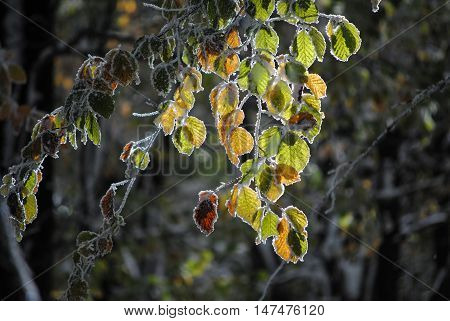 Beautiful colorful frozen foliage in the autumn
