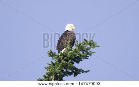 An American bald eagle atop a spruce tree near North Beach Washington.