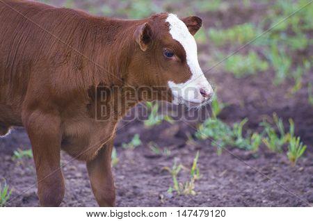 A bull calf on my father's farm in Minnesota.