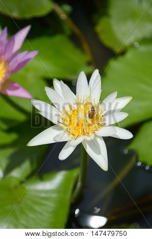 close up white waterlily flower on fish pond