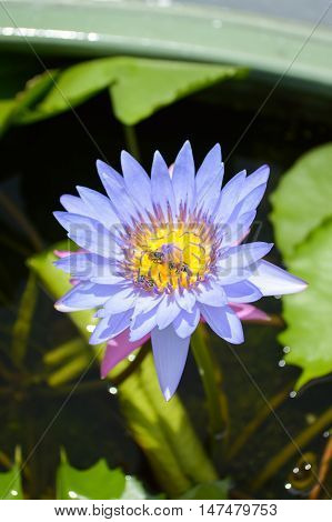 close up blue waterlily flower on fish pond