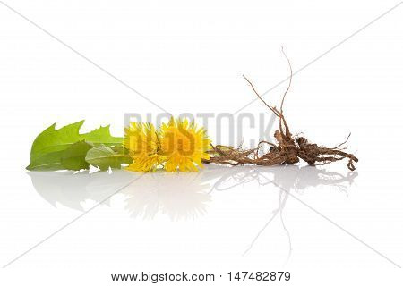 Dandelion background herbal remedy. Dandelion flower leaves and root isolated on white background.