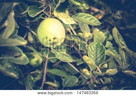 Green Apple On Tree