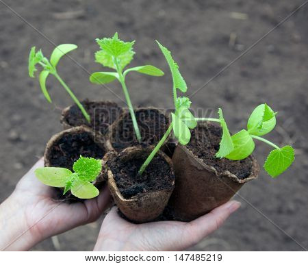 Cucumber Seedlings