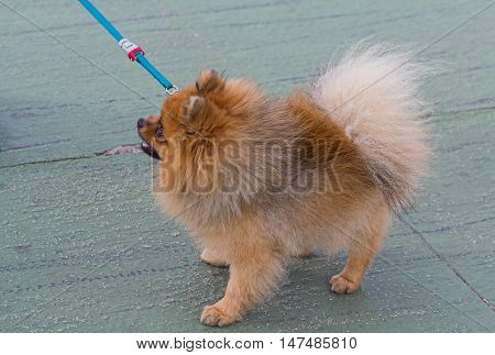 Small dog on a leash while walking. Pets
