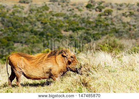 Digging In The Grass - Phacochoerus Africanus  The Common Warthog