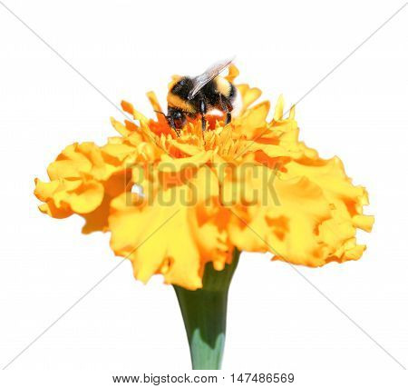 Bee collecting honey and Marigold in the fall. Bee and Marigold flower isolated on white background