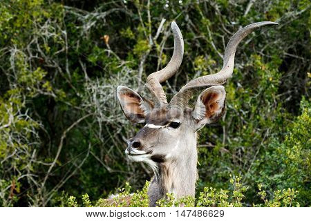 This Side Look - Greater Kudu - Tragelaphus Strepsiceros