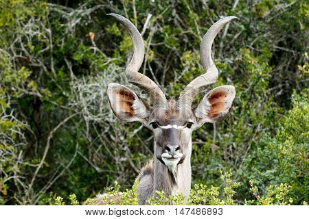 Id Photo Look - Greater Kudu - Tragelaphus Strepsiceros