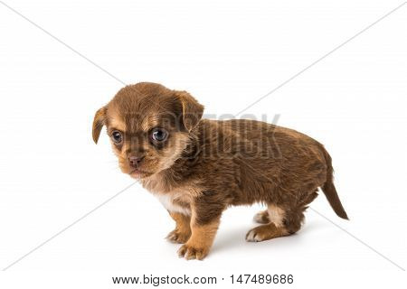 puppy miniature doggy isolated on white background