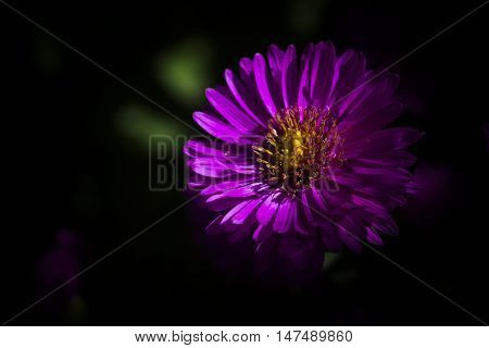new york aster or the michaelmas daisy