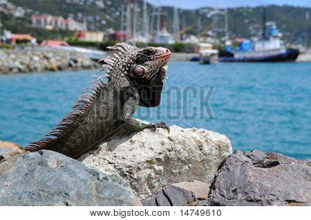 Iguana resting on rock at Saint Thomas Island, United States Virgin Islands