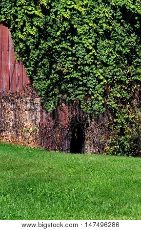 Arched doorway is overgrown with ivy. This rustic red and weathered barn entrance can be found in Wisconsin.