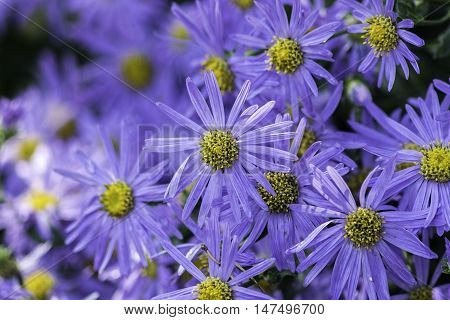 Aster flowers also known as Michaelmas daisies typical of an English country garden.