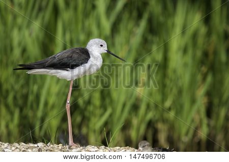 Black-winged stilt also known as common stilt or pied stilt (Himantopus himantopus) shown standing in perfect profile
