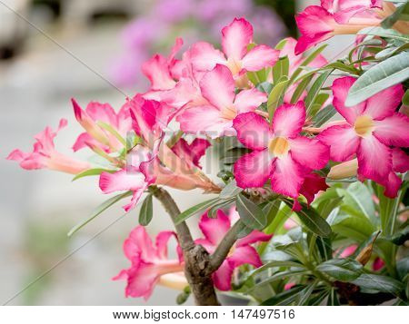 Adenium obesum (Desert Rose; Impala Lily; Mock Azalea) with blurred background
