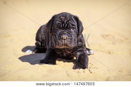 Beautiful young puppy italian mastiff cane corso sits on the sand in sunny day.