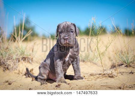 Beautiful young puppy italian mastiff cane corso on the sand in sunny day.