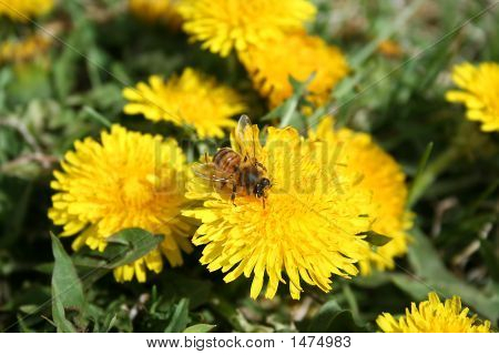Stock Photo Of Honeybee Collecting Pollen