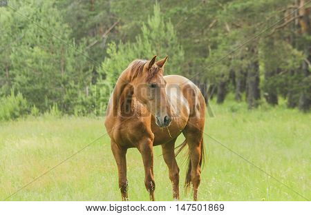 red horse standing in the green forest on fresh grass