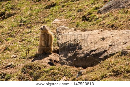 A marmot standing on its hind legs in a meadow in the Swiss alps.