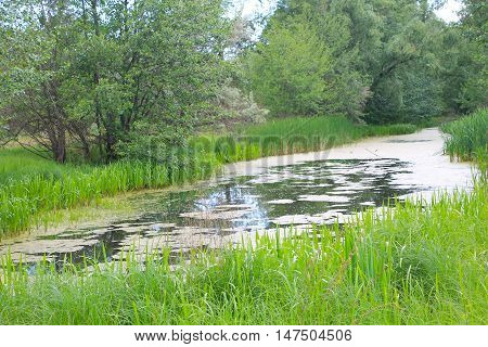 Small river overgrown with duckweed in forest