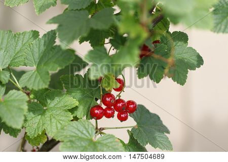 Red Currants In The Garden, Summer Harvest.