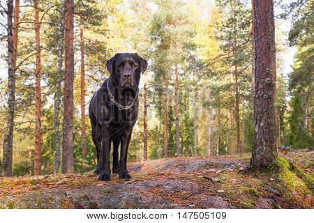 Black Lab Standing on Cliff in Autumn Forest