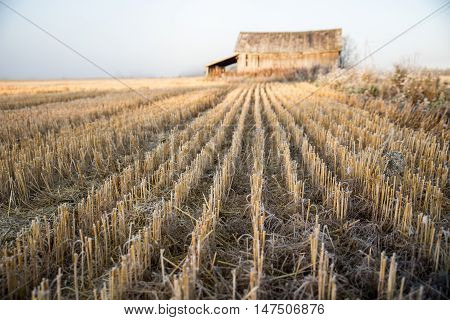 Harvested Crops and Old Barn at Autumn